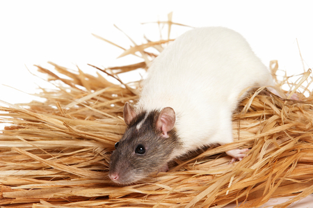 White rat and hay (isolated on white)