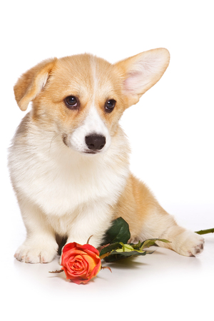 Funny redhead welsh corgi pembroke puppy and rose flower (isolated on white) Stock Photo - 123155544