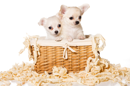 Two puppies of chihuahua dog in a basket (isolated on white)