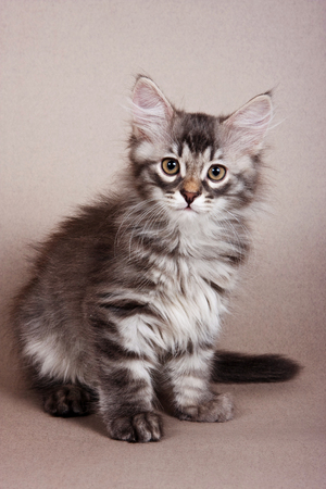 Fluffy gray striped kitten Siberian cats on a gray background 스톡 콘텐츠
