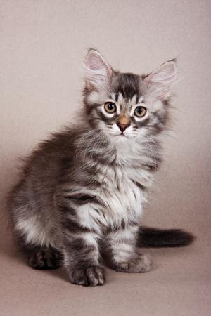 Pluizig grijs gestreepte kitten Siberische katten op een grijze achtergrond
