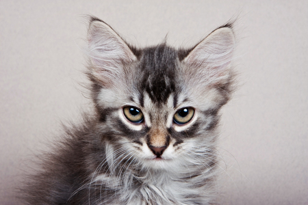 Fluffy gray striped kitten Siberian cats on a gray background Stok Fotoğraf