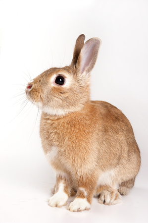 red rabbit (isolated on white) Stock Photo