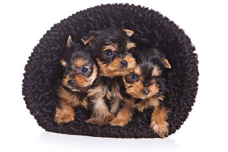 Three puppies of the Yorkshire Terrier in hat (isolated on white) Reklamní fotografie