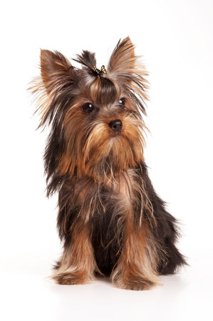 Yorkshire Terrier with a bow (isolated on white) Stock Photo