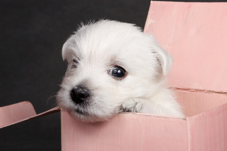 White cute puppy dog West Highland Terrier in a pink box on a gray background
