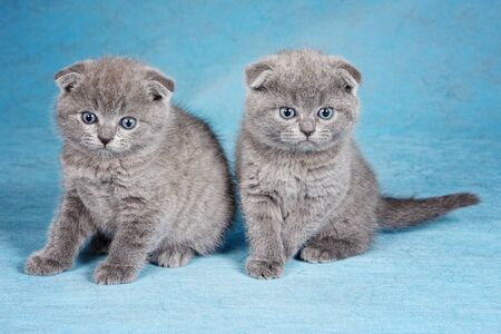 Two gray british scottish fold kittens on blue background