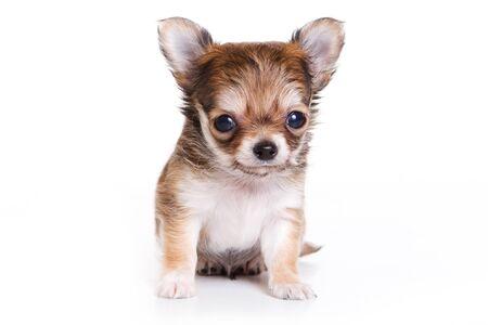 Cute chihuahua puppy Imagens