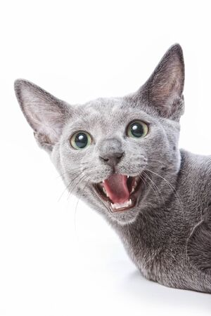 Portrait of a gray Russian blue cat hissing and angry Imagens