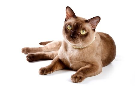 Burma brown cat (isolated on white)