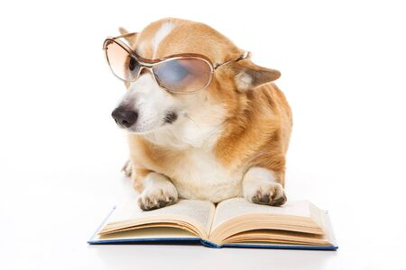 welsh corgi pembroke dog with glasses and a book