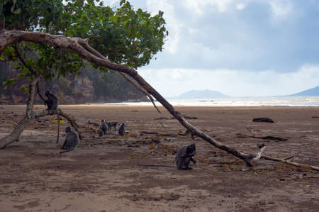 bourne: a flock of rare black monkey sitting on the beach of the island Bourne. ruffed encotel, silver langur. Stock Photo