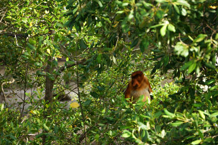 proboscis: Proboscis monkey sitting on a tree, Borneo, Malaysia Stock Photo