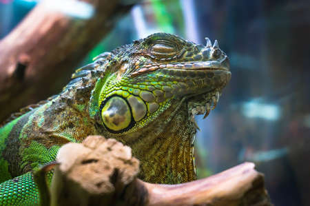 sleeping green iguana in a terrarium on a natural background. Stock Photo