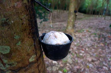 bowery: Rubber tree plantation, Thailand