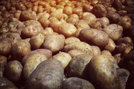 Fresh potato tubers closeup. Low-key lighting Many fresh organic potatoes in the field. Background of potatoes. Retro photo.
