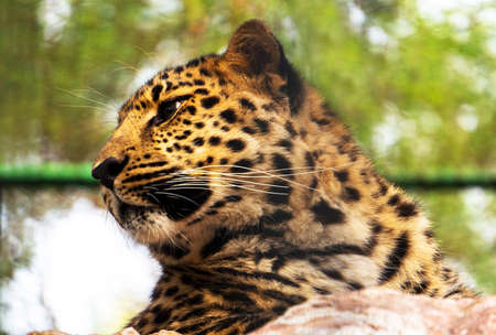 zimbabwe: The Amur leopard sits in a cage in the Novosibirsk zoo. Portrait of a beautiful leopard. The far Eastern leopard registered in the red book. Foto de archivo