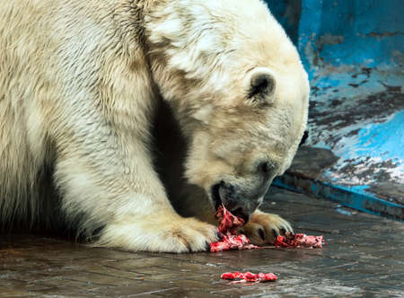A wicked white bear is eating the bloody meat in Novosibirsk zoo. Stock Photo