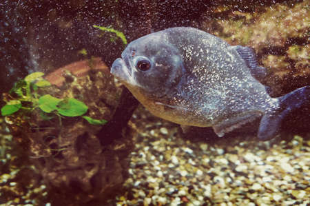 aquarium hobby: Piranha swims under water on a background of rocks and algae in the aquarium. Stock Photo