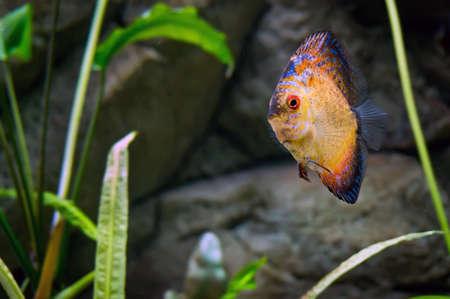 cichlid: Beautiful goldfish swims among algae in the aquarium. Aquarium fish close-up.