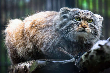 Pallass cat, or manul, lives in the cold and arid steppes of central Asia. rare critically endangered animal listed in the red book. Stock Photo