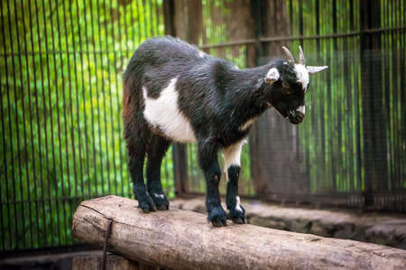 Cute black and white baby goat at zoo