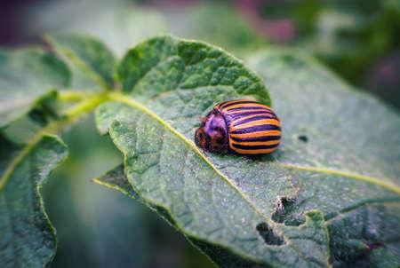 Colorado beetle on a sheet of potato bush in the garden. A dangerous pest for agriculture. Macro. beetle pest spoils crop potatoes Stock Photo