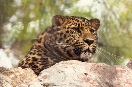 Amur leopard sitting on a rock. The far Eastern leopard registered in the red book.