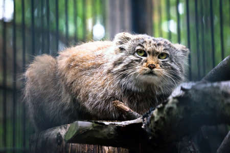 Manul is a predatory mammal of the cat family. The second name is the Pallas cat. Rare animal on the verge of extinction. Stock Photo