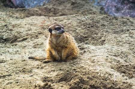Meerkat or Suricate. A frightened meerkat stands on the sand