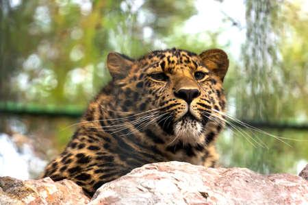 岩の上のヒョウ。極東ヒョウは家族ネコ科ヒョウの亜種の一つの肉食性哺乳類であります。現在、アムールヒョウが絶滅の危機にひんです。