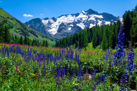 Flowers field on the background of snowy mountain peaks in the Altai mountains. Beautiful natural landscape.