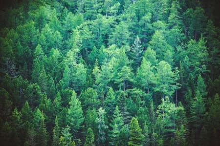 Forêt de sapins vue d'en haut - belle nature de forêt. Arbres verts en bonne santé dans une forêt de vieux arbres d'épinette, de sapin et de pin dans le désert d'un parc national. Banque d'images - 84145814