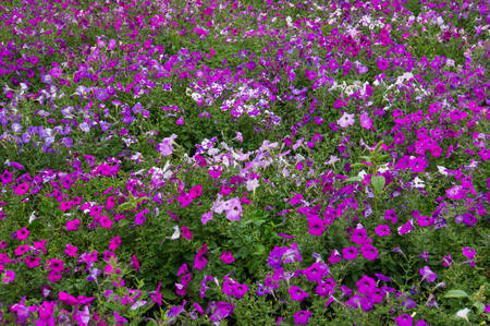 innumerable: Floral background. Delicate white with purple petals. Flowers. Flower Glade