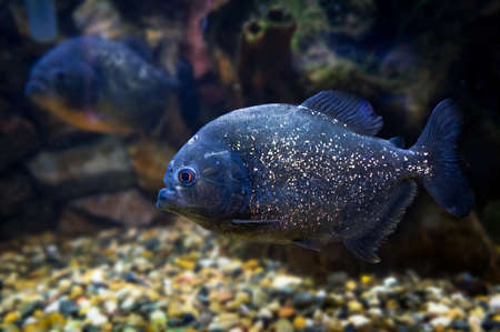 Piranha swims underwater on the bottom of the river on a background of stones.