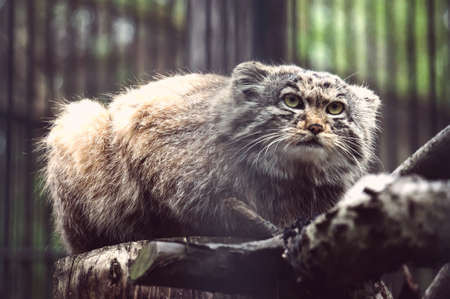 manul the asian wild cat close up photo. Rare animal on the verge of extinction. Stock Photo