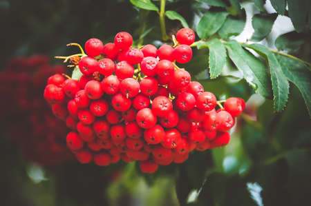 Rowan tree, close-up of bright rowan berries on a tree. Large orange berries on the tree closeup on a background of autumn leaves. Stock Photo