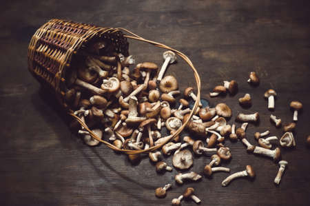 Wicker basket with fresh mushrooms honey agarics autumn on a wooden table.