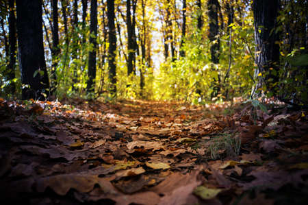 A walk in the autumn woods. Golden autumn. The colorful trees. Wildlife. prospect of leaving the path in the forest autumn forest.