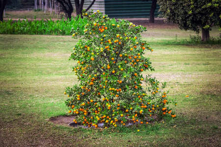 Mature clementines. A clementine is a hybrid between a mandarin and a sweet orange, Rutaceae family. Dwarf Bush with tangerines. Low tree with small varieties of oranges. Stock Photo