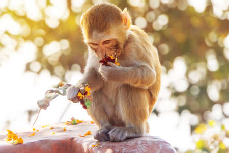 Monkey cub portrait. a little baby monkey eating a meal in nature in its natural habitat