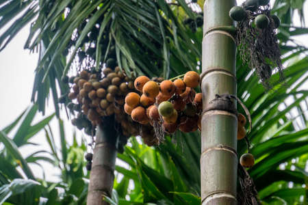 Betel palm or betel nut. fruit on the tree. Narcotic nut.