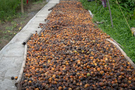 Many raw betel nuts waiting to dry. Top view betel nut or areca nut drying on the floor in the sun. legal drug in southern Asia