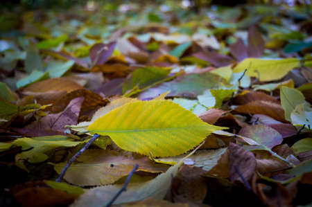 Autumn leaves close-up as background. Pure green leaf on a background of fallen yellow leaves. Stock Photo