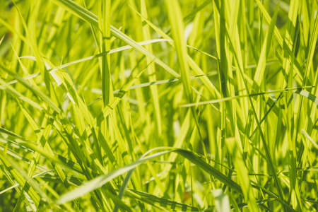 green colorful grass. Abstract background. grass stems in yellow sunlight. a thick clump of grass Stockfoto