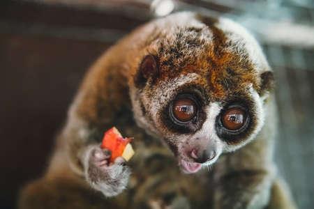Powolna małpa Loris. Laurie, mała małpka, z dużymi okrągłymi oczami i wyrazem zaskoczenia na twarzy.