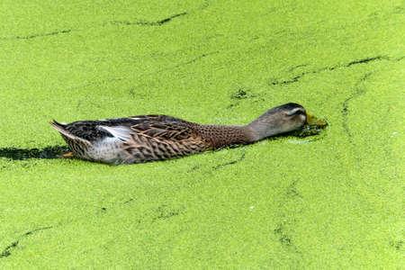 hen wood duck swimming in a marsh, through duck weed. Reklamní fotografie