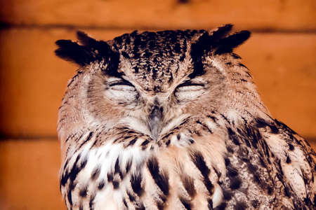 Great horned owl standing with eyes closed. Head of a sleeping owl closeup