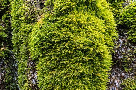 texture mossy bark on rain forest tree background. Green vegetation on wet stone Foto de archivo - 131278903