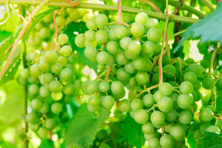 Bunch of ripe juicy grapes on a branch in bright sunlight. Green grape berries in the daytime sunlight. vintage in the country.